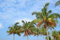 Coconut trees - PhotoDune Item for Sale
