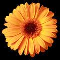 Yellow gerbera flower isolated on  black - PhotoDune Item for Sale