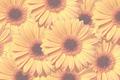 Yellow gerbera flowers - PhotoDune Item for Sale