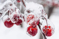 Frozen crab apples on snowy branch - PhotoDune Item for Sale