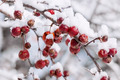 Crab apples on snowy branch - PhotoDune Item for Sale