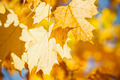 Glowing fall maple leaves - PhotoDune Item for Sale