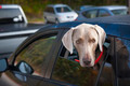 Dog waiting in car - PhotoDune Item for Sale