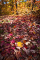 Fall forest floor with autumn maple leaves - PhotoDune Item for Sale