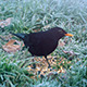 Black Bird Eats Seeds In Winter - VideoHive Item for Sale