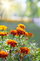 Tagetes - PhotoDune Item for Sale