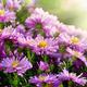 Magenta asters flowerbed - PhotoDune Item for Sale