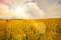Oilseed under cloudy sky sunny day - PhotoDune Item for Sale