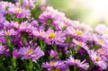 Magenta asters flowerbed - PhotoDune Item for Sale