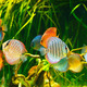 Symphysodon discus - PhotoDune Item for Sale