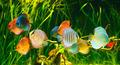 Symphysodon discus - PhotoDune Item for Sale