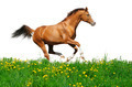 Sorrel Horse Gallops - PhotoDune Item for Sale