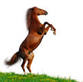 Sorrel Horse Rear - Isolated on White - PhotoDune Item for Sale