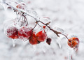 Crap apples on icy branch - PhotoDune Item for Sale