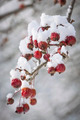 Crap apples on snowy branch - PhotoDune Item for Sale