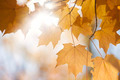 Backlit fall maple leaves in sunshine - PhotoDune Item for Sale