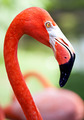 Profile of American flamingo with its long neck and beak - PhotoDune Item for Sale