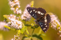 Southern White Admiral Butterfly (Limenitis reducta) Feeding on - PhotoDune Item for Sale