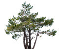 Mountain spruce. - PhotoDune Item for Sale