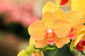 Yellow Orchid - PhotoDune Item for Sale