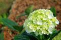 Green hydrangea - PhotoDune Item for Sale