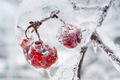 Icy branch with crab apples - PhotoDune Item for Sale