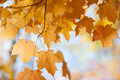 Backlit maple leaves in fall - PhotoDune Item for Sale