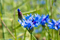 Young corn flower on spring meadow. - PhotoDune Item for Sale