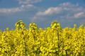 Blooming canola on the field close up. - PhotoDune Item for Sale