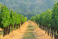 Grapes on the Vine in Autumn - PhotoDune Item for Sale