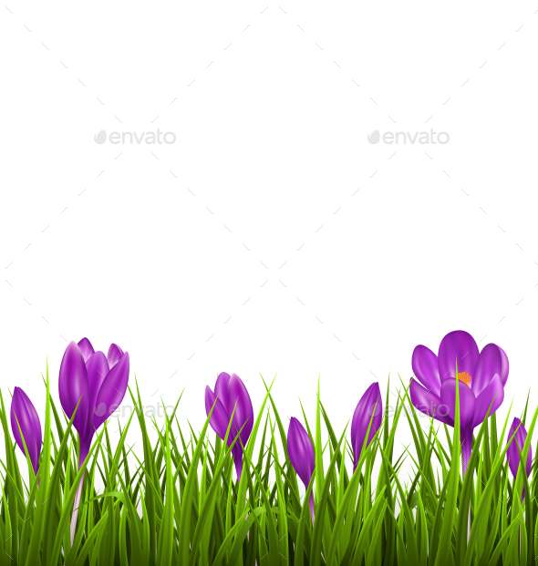 Green Grass Lawn with Violet Crocuses