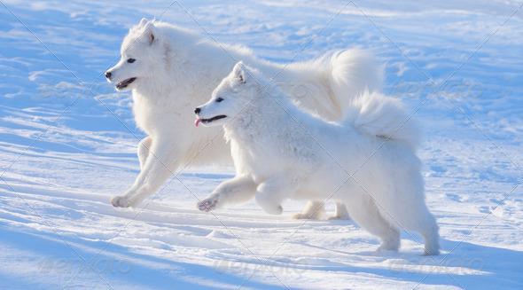 Samoyed Dog - Stock Photo - Images