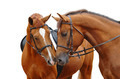 Two Sorrel Horses - PhotoDune Item for Sale