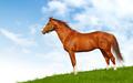 Sorrel Stallion - PhotoDune Item for Sale
