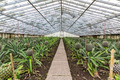 Fresh Pineapples Growing into Glasshouse - PhotoDune Item for Sale