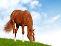 Sorrel Foal - PhotoDune Item for Sale