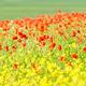poppies - PhotoDune Item for Sale