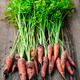 Fresh carrots from garden - PhotoDune Item for Sale