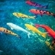 Colorful Koi Fishes - PhotoDune Item for Sale