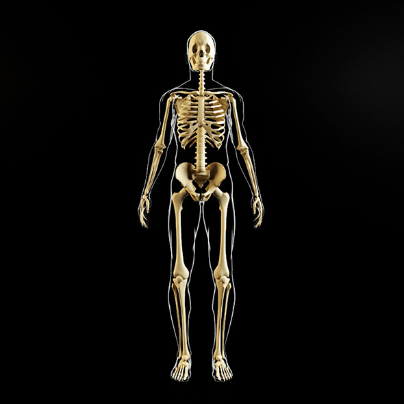 Skeleton and human body - 3DOcean Item for Sale