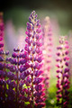 Violet wild-growing flowers of a lupine - PhotoDune Item for Sale