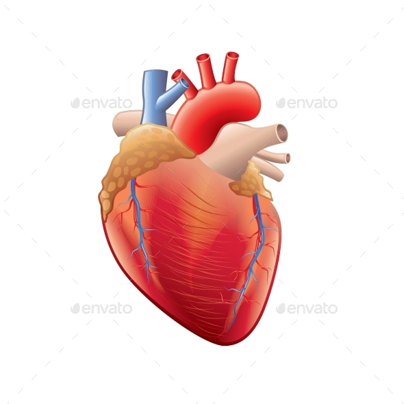 GraphicRiver Human Heart Anatomy 10354020
