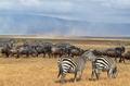 Herd of Zebras and Gnus 3 - PhotoDune Item for Sale