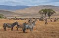 Herd of Zebras and Gnus - PhotoDune Item for Sale
