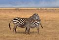 Zebra Nursing - PhotoDune Item for Sale
