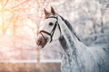 Portrait of a gray sports horse in the winter - PhotoDune Item for Sale