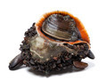 Rapana venosa covered with mussels - PhotoDune Item for Sale
