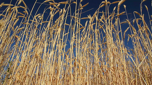 Stalks Of Ripe Wheat Under A Blue Sky