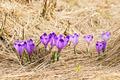 Crocus on a meadow in spring - PhotoDune Item for Sale