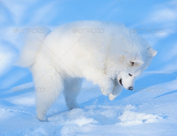Samoyed Dog - Stock Photo - Images